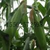 早鲜糯白玉米 白糯玉米种子
