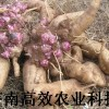 新鲜保健水果种苗