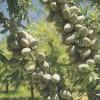 美国大扁桃(开心果)种苗