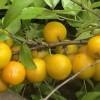 第三代水果-中华钙果 种苗
