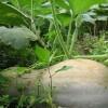 密本日本南瓜种子