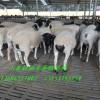 供应山西黑头杜泊羊多少钱一只 济宁规模化养殖场