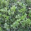 江苏南京供应大叶黄杨等多种绿化苗木