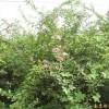 江苏南京供应紫薇等多种绿化苗木