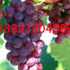 陕西大荔雨棚红提葡萄产地大量上市