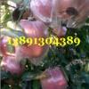 陕西大荔万亩优质红富士苹果产地批发大量上市