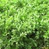 供应栀子等多种绿化苗木