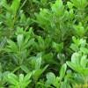 供应海桐等多种绿化苗木