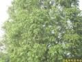 水杉 (1)