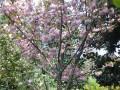 樱花 (2)