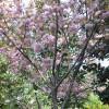 供应樱花等多种绿化苗木