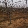 山楂树价格、5公分6公分8公分山楂树多少钱一棵
