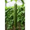 荷兰进口绿苦瓜种子,杂交一代新品种绿苦瓜种子