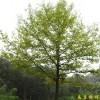 供应枫香等多种绿化苗木