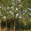 供应马褂木等多种绿化苗木