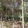 供应榉树等多种绿化苗木