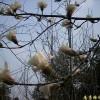 供应白玉兰等多种绿化苗木
