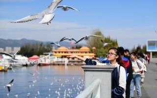 红嘴鸥连续34年飞临云南昆明越冬