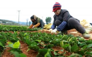 贵州福泉:茶叶育苗忙