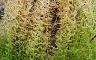 泥炭藓(水苔)的种植